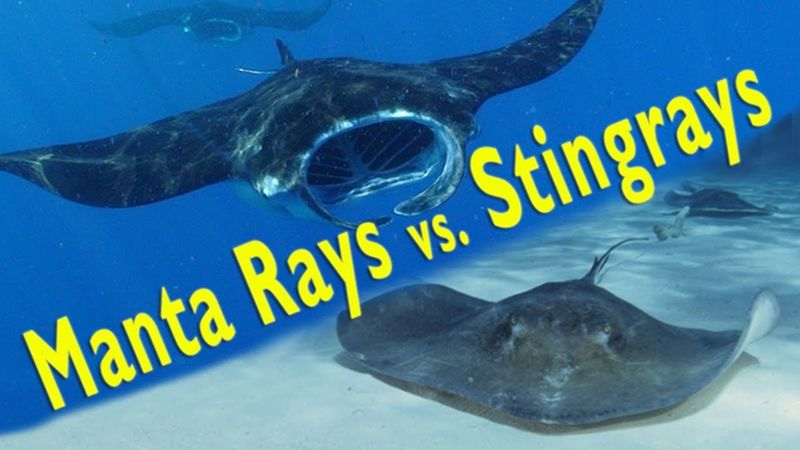 Difference between Manta ray and Sting ray
